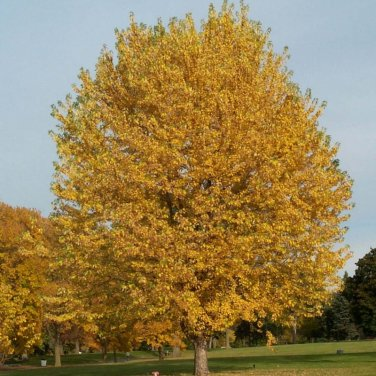 80+ Acer Saccharinum ( Silver Maple ) seeds