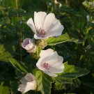 100+ Althaea Officinalis ( Marsh Mallow ) seeds