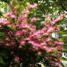 30+ Albizia Julibrissin Rosea ( Silky Mimosa ) seeds