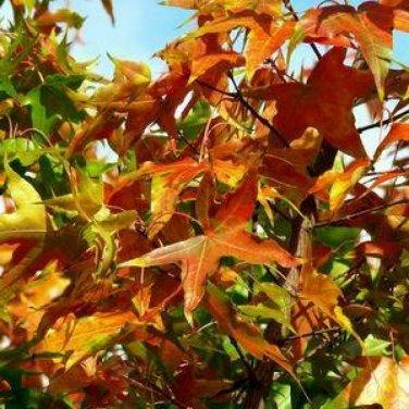 10+ Acer Truncatum ( Shantung Maple ) seeds