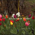 *Tulips* 8X10 Color Photo