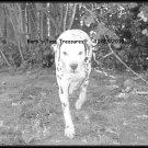 *Charlie Bum On The Prowl*  8X10 Black & White Photo