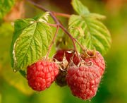 SUN RIPENED RASBERRY