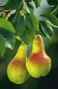 HOME BAKED PEARS