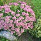 Sedum Autumn Joy Plants