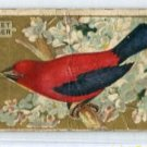 SCARLET TANAGER 1910 Bird Series T42 Tobacco Card