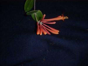 Lonicera  vine coral trumpet vine  honeysuckle tropical vine