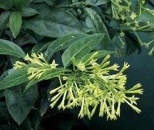 tropical night bloom jasmine plant  Cestrum nocturnum fragrant