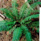 Boston Fern Live Florida Native  plant