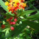 Butterfly food plant Milkweed butterfly garden Monarch butterfly