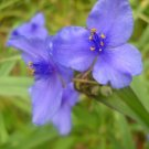 Wild Iris  Blue Flag purple iris plant Iris setosa