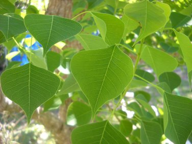 Tallow tree 100 seeds Bonsai  popcorn Florida aspen