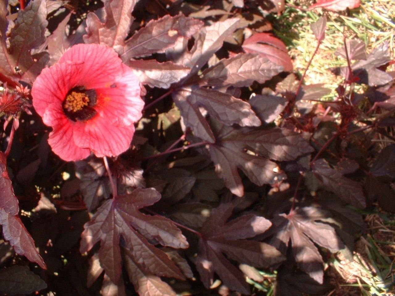 Red Cranberry Hibiscus Edible Plant 8 Inch Tall Live Plant Red