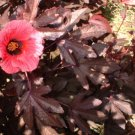 Red cranberry Hibiscus edible plant 8+ inch tall live plant red medical use too