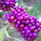 Beautiberry bush live plant Callicarpa bird berry food mosquito repelant too
