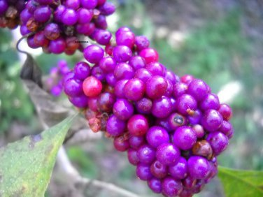 Beautiberry bush live plant Callicarpa bird berry food mosquito repelant too