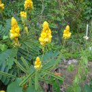 tropical yellow flower bush plant 100 seeds Candlestick Cassia candle stick