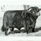 Champion Bull Photograph