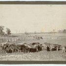 Cattle on a Farm Photograph