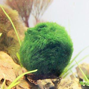 3-4cm MARIMO MOSS BALLS Cladophora Live Aquarium Plant Fish Tank Shrimp Nano New