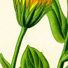 Calendula--4 Ounces