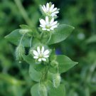 Chickweed--1 oz.
