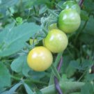 Organic Tomato Seeds Coyote Heirloom - Home Grown