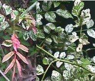 VARIEGATED  ROSE-  Rosa Wichuraiana variegata
