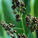 Sorghum~~BLACK BROOM CORN~Seeds!~~~~~~~~Shiny Black Beads!!