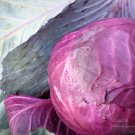 "Cabbage~Heirloom~""RED ACRE"" CABBAGE~Seeds!~~~~A Sweet Favorite!"
