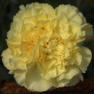 Carnation~YELLOW CARNATION~Seed​s!!!!~~~~~~~Da​inty but NOT Delicate!
