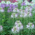 "Cleome~""TALL MIX"" CLEOME~Seeds!!!~~~~~~~~~~5'+ of Lovely, Colorful Spiders!"