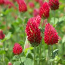 "Clover~""CRIMSON"" CLOVER~Seed!!!~~~Not Just for Cattle Anymore!"