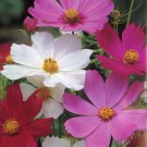 "Cosmos~BULK~""SENSATION MIX"" COSMOS~Seeds!!!!!!!~~~~~~100+~~~Sensations in Bulk!!"