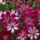 "Cosmos~COSMOS ""CANDY STRIPES""~Seeds!!~~~~Fuschia-Pink Blends!!"