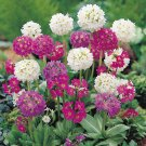 "Craspedia~""PRIMULA DRUMSTICKS MIX""~Seeds!!!!!!!~~~~(Craspedia denticulata)"
