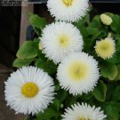 "Bellis~""POMPONETTE-WHITE"" ENGLISH DAISY~Seeds!!!!~~~~~~Elegant & Dainty!!"