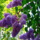 "Syringa~Bulk~""LAVENDER"" LILAC~Seeds!!!~~~~200+~~~~~So Many Fragrant Lilacs!!"