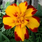 "Marigold (French)~""DURANGO BOLERO"" MARIGOLD-Seeds!~~~~~Bold Beauty!"