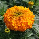 "Marigold (African)~""INCA II-ORANGE"" MARIGOLD-Seeds!~~~Super Annual!!!!"