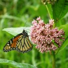 "Asclepias~""MILKWEED""~Seed!!!~~~~Please Promote Monarch Habitat!!"