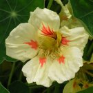 "Nasturtium~""STRAWBERRIES & CREAM"" NASTURTIUM~Seeds!!~~~~Good Enough to Eat!"