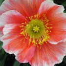 "Poppy (Icelandic)~""FLAMENCO-ICELAND POPPY~Seeds!!!!!!!~~~~~Soft & Subtle!"