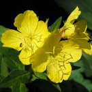 "Primrose~""EVENING PRIMROSE""~Seeds!!!!~~~Early, Sunny Perennial!"