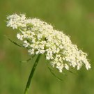 "Daucus~""QUEEN ANNE'S LACE""~Seed!!!~~~~~~Wildflower Lovelies!!"
