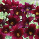 "Salpiglossis~""BLACK TRUMPETS"" SALPIGLOSSIS~Seeds!!~~~~~~~Glorious Color!"