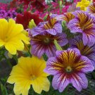 "Salpiglossis~""PAINTED TONGUE MIX""~Seeds!!~~~~~~~Shocking Salpiglossis!"