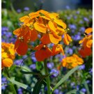 "Wallflower~""SIBERIAN WALLFLOWER""~Seed!!~~Lovely, Hardy Wildflower!"