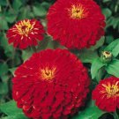 Zinnia~&quot;CHERRY QUEEN&quot; ZINNIA~Seeds!!!!~~~~~~Easy to Grow!