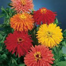 Zinnia~&quot;CACTUS MIX&quot; ZINNIA~Seeds!!!!~~~Beautiful Flowers!!